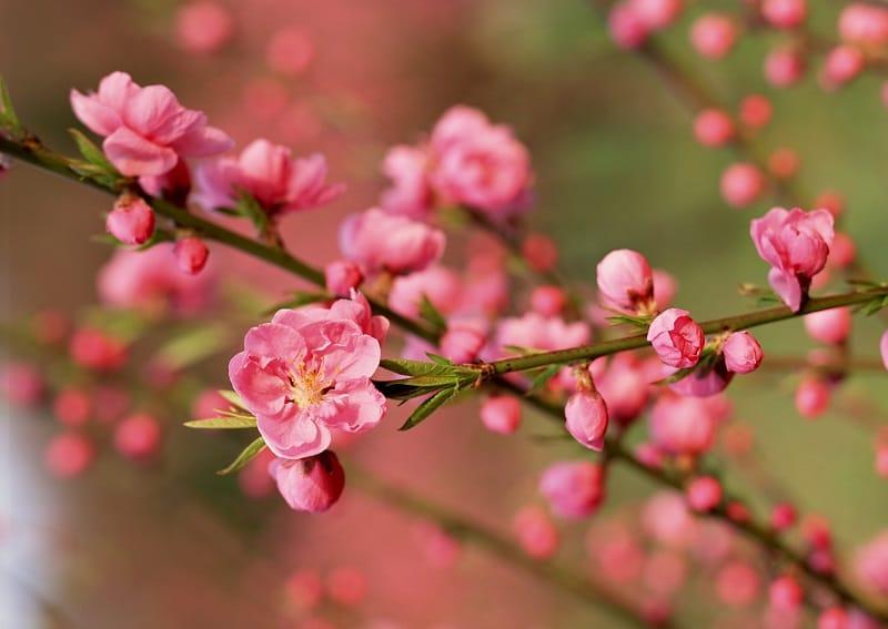 Hoa đào tết