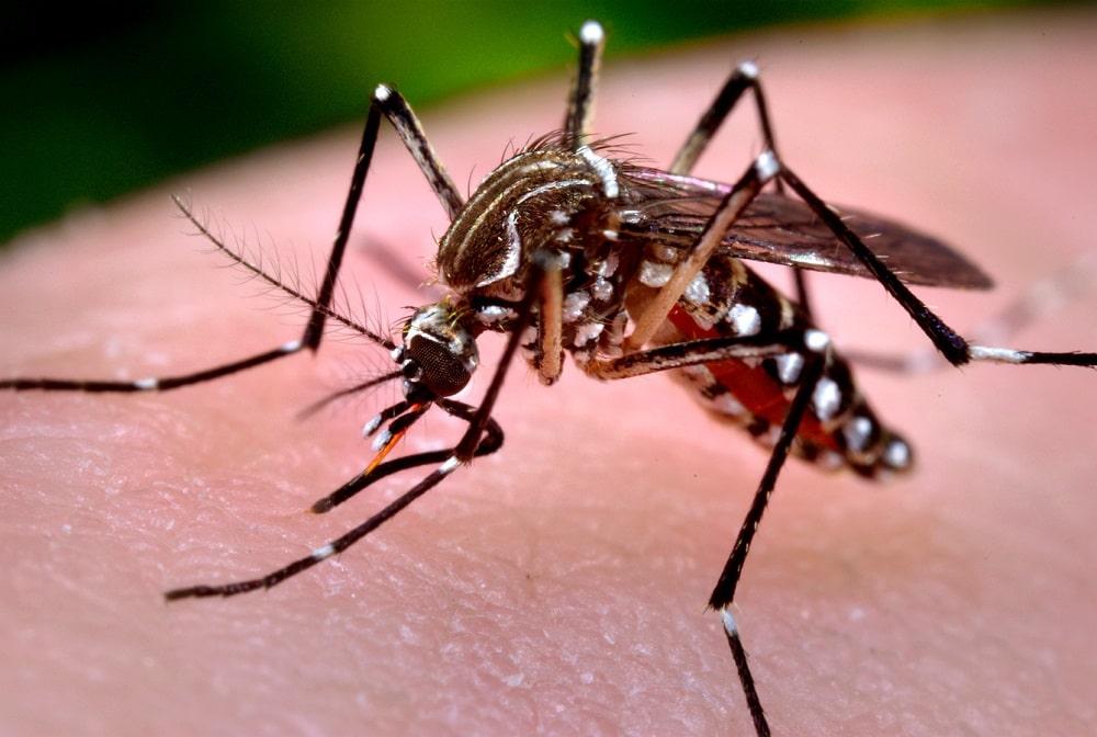 Cần bao nhiêu con muỗi để hút hết máu của một người?