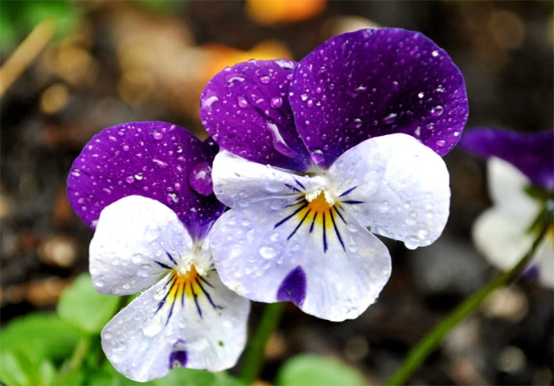 Ý nghĩa hoa Păng xê: Thay lời muốn nói